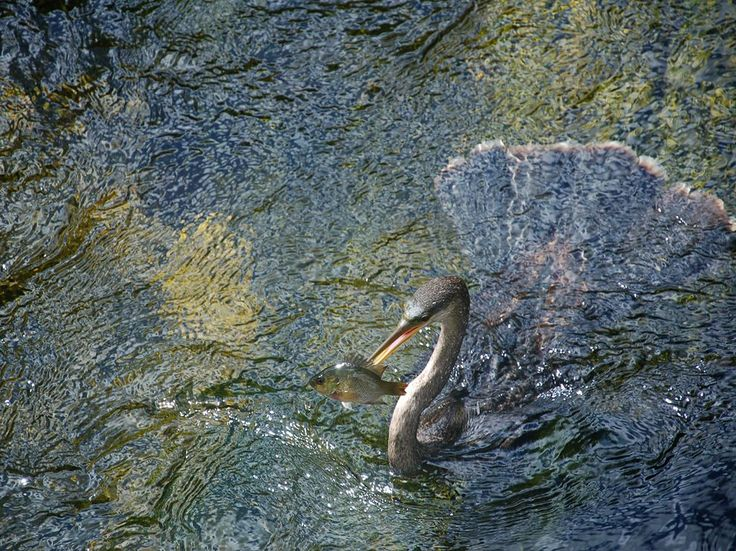 taken on the Anhinga Trail, Everglades National Park, in July 2010. The anhinga bird had just surfaced from the stream, having skewered the fish.: Under The Water, Paintings Art, Crafts Paintings, National Geographic Photo, Homes Crafts, Landscape Photography, Everglad National Parks, Kids, Photography Quotes