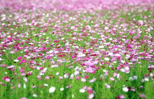 Cosmos flowers wallpapers   Wallpaper HD