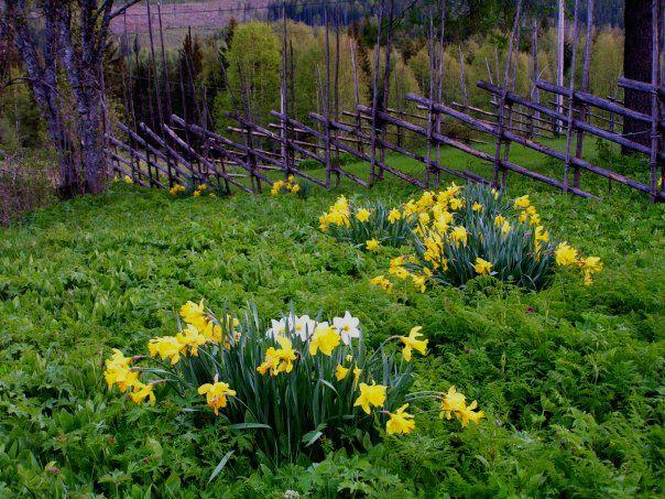 Wild Daffodils & roundpole fence. Untorp, Dalarna, Sweden.