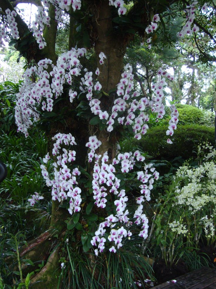 Bunch of vivid white orchids growing on a tree