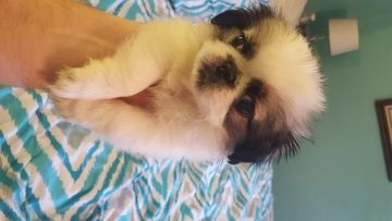 Pekingese puppy for sale in SAN ANTONIO, TX. ADN-46191 on PuppyFinder.com Gender: Female. Age: 7 Weeks Old