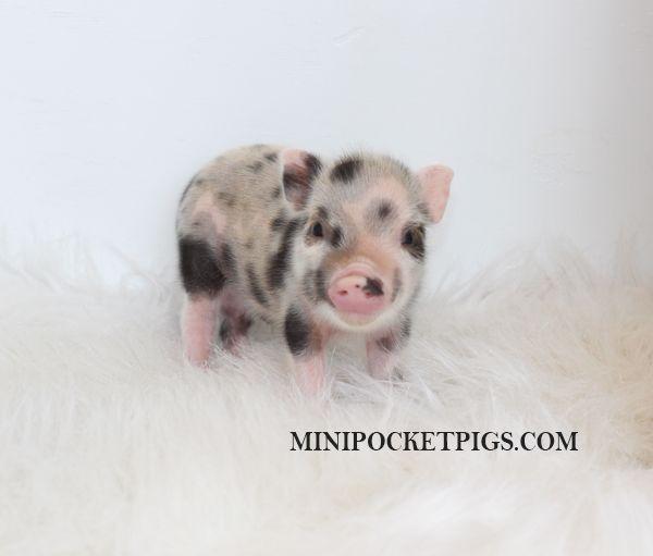 Mini Micro Juliana Baby Pigs For Sale Mini Pocket Pigs Baby Pigs Cute Baby Pigs Pigs For Sale