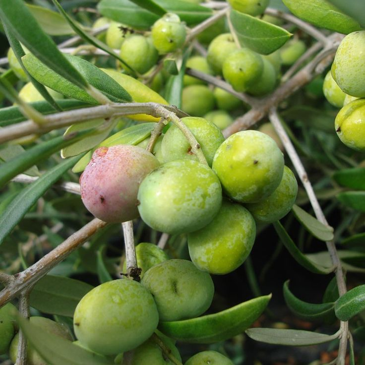 Best 25 arbequina olive tree ideas on pinterest how to for Growing olive trees indoors