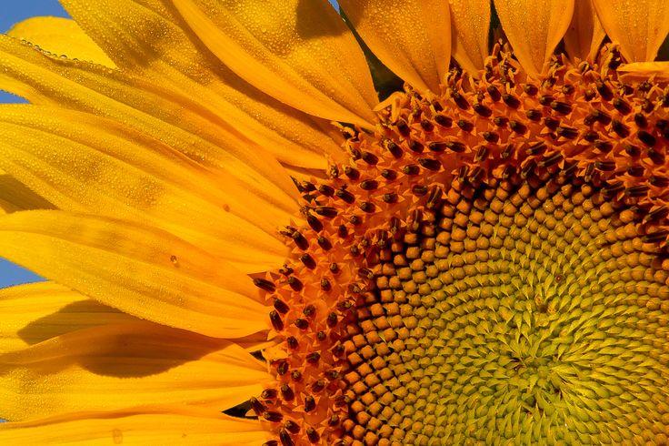 sunflower fresh with dew, by Kurt Wecker
