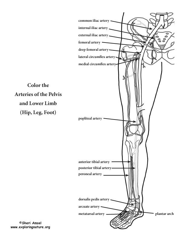 100 best Anatomy images on Pinterest | Coloring pages, Human ...