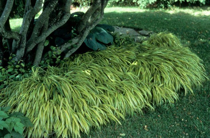 71 best images about larkspur modern shade rain garden on for Shade decorative grass