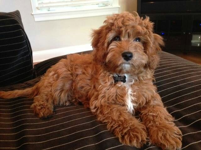 "Cavapoo - I'm not usually a fan of ""designer dogs"" but I saw one of these in Italy and it was so CUTE, smart & sweet . . . sort of want!"