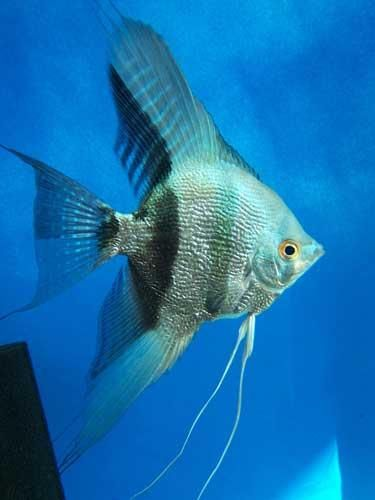 17 best ideas about angelfish on pinterest tropical fish for Freshwater angel fish
