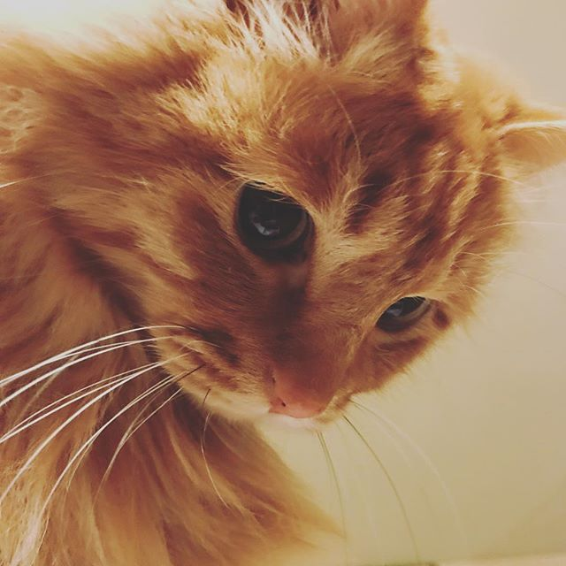 ひげ 何本か黒い  #ねこ #ねこ部 #cat #catlovers #猫 #ネコ #雑種 #雑種猫 #長毛猫 #長毛 #ロン毛 #longcoat #redtabby #茶トラ #crouton #猫ベッド #pet #petstagram #catstagram #ねこずきさんと繋がりたい #ねこのいるくらし #猫と暮らす #猫フェチ #ニャンスタグラム #にゃんすたぐらむ #愛猫 #catsphoto #猫が好きすぎてつらい