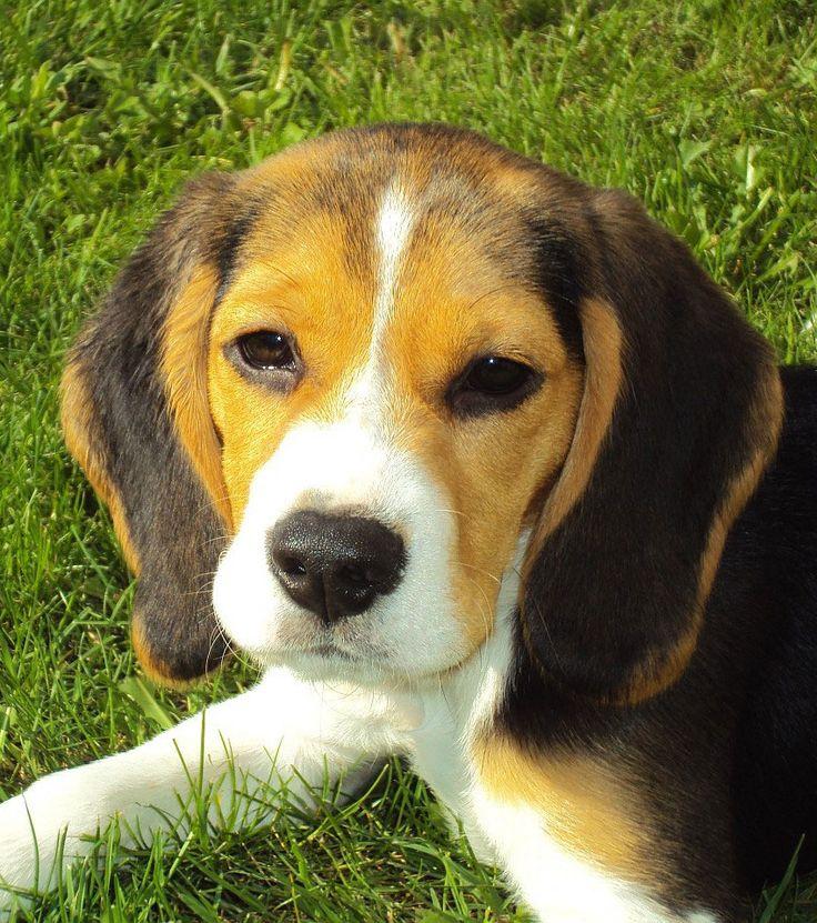 Principalement connu pour être un chien de chasse, le beagle a certaines qualités indéniables