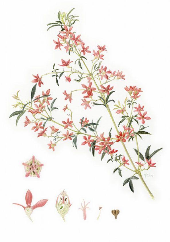 Christmas Bush Tea.Nsw Christmas Bush Ceropetalum Gummiferum Next Ink