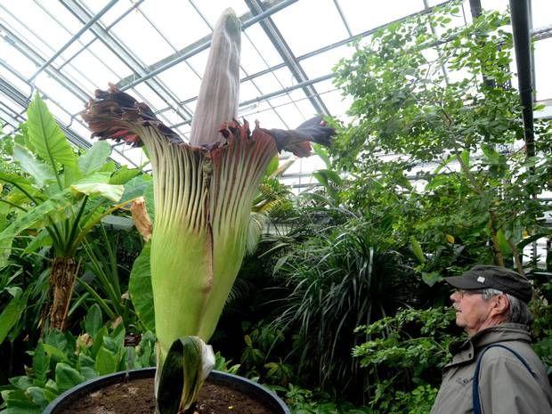 Die ersten Besucher bestaunen die Titanenwurz, die am Donnerstagabend überraschenderweise ihre riesige Blüte entfaltete.