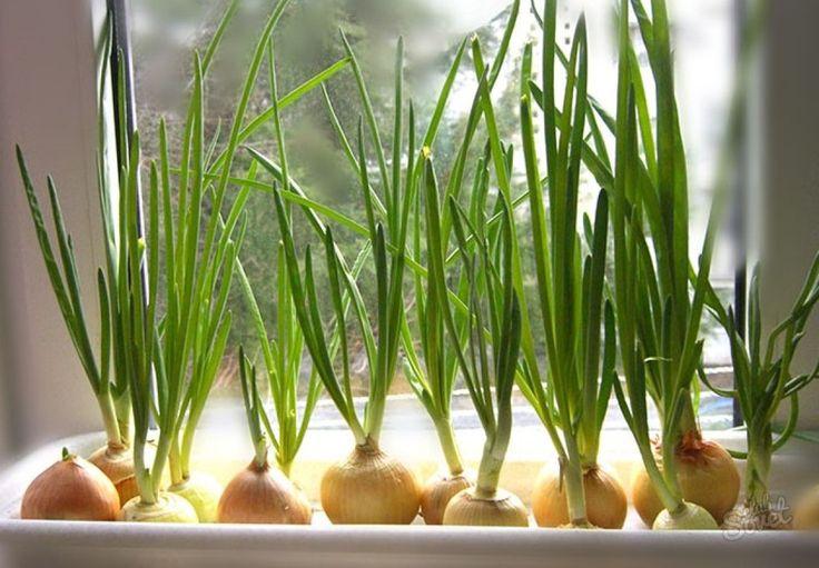 Как вырастить зеленый лук в пакете на подоконнике » Женский Мир
