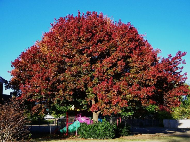 piante-a-crescita-rapida-maestosa-quercia-rossa
