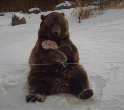 I'm told this is Brutus the bear celebrating his 10th birthday with a lollipop. http://bear.org/