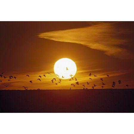 Bosque Del Apache New Mexico United States Of America Snow Geese (Chen Caerulescens) Flying In Front Of The Sun Canvas Art - David Ponton Design Pics (18 x 12)