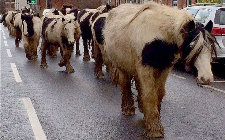 More than 20 unaccompanied horses brought traffic to a standstill in the busy town centre of Market Harborough, Leics, when they decided to go walkabout after escaping from their field at the weekend. The herd was eventually rounded up and returned safely to their homePicture: Raymonds