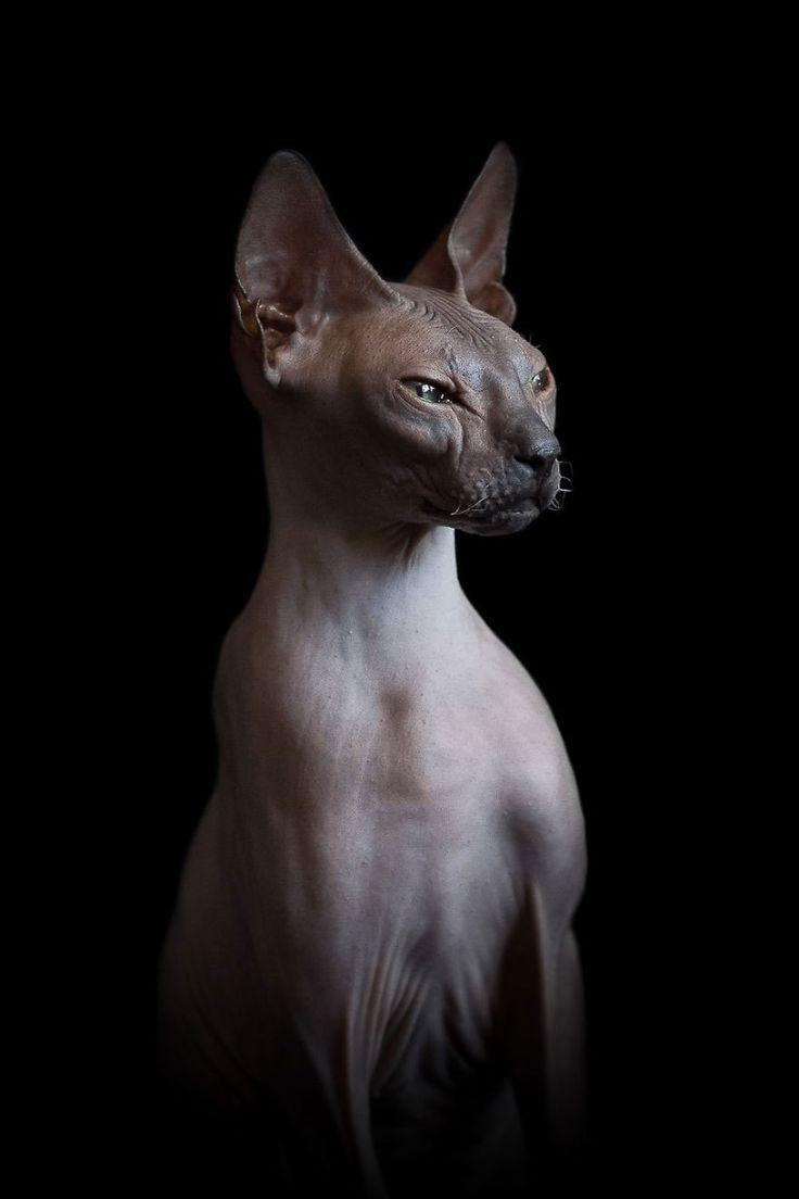 Célèbre Plus de 25 idées magnifiques dans la catégorie Tatouage chat  WK58