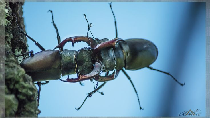 Stag Beetle Fight by Ambar Elementals on 500px