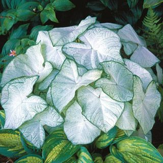 GenusCaladium Variety'Moonlight' Zone9 - 11 HabitCompact Plant Height18 in - 22 in Plant Width12 in - 24 in Foliage ColorDark Green,Purple,Variegated,White Light RequirementsPart Shade,Shade Moisture RequirementsMoist, well-drained Soil ToleranceNormal, loamy