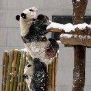 Just a little help...: Help Me, Baby Pandas, So Cute, Cute Pandas, Pandas Bears, Baby Animal, My Friends, Help Hands, Pandas Love