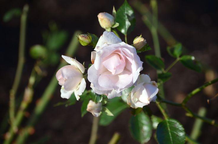 Rose by http://tonnyfroyen.com/ #flower #flowers #Molde #blomst #blomster #rose #roses #nature #norge #petal