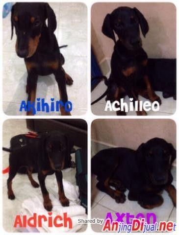 Di Jual Anakan Doberman, Batam - Iklan Pet #10704 - AnjingDijual.NET (AnDine) - Jual Anjing Ras, Iklan Anjing Dijual