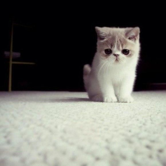 Best Animals Images On Pinterest Adorable Animals Funny - Kitten born with dwarfism is half the cat but twice as cute