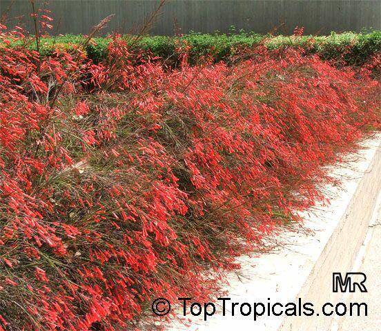 Photos For Best Rate Landscape Design: Russelia Equisetiformis Firecracker Plant Clusters Of