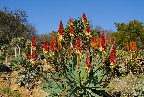 Aloes - South Africa - July 2006