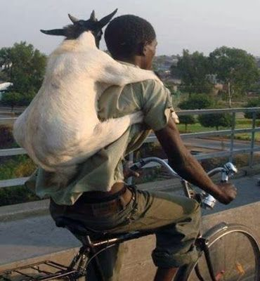 Goat on bike.....Taking your goat for a ride