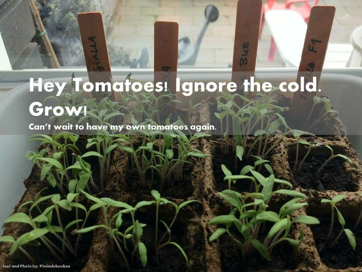 Growing my own tomatoes