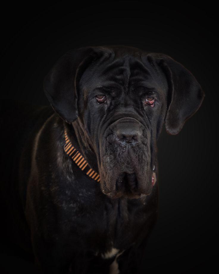 Francesca, neapolitan mastiff
