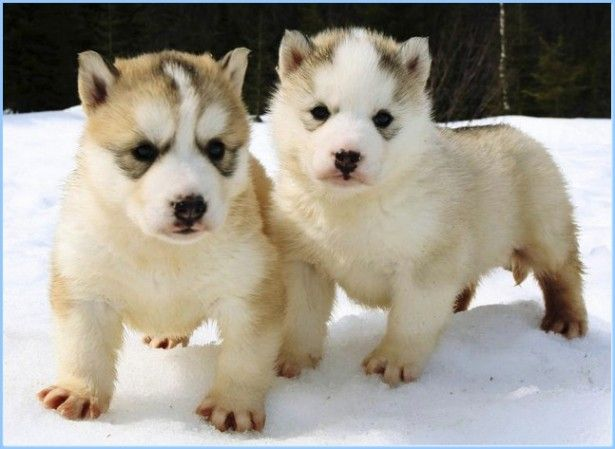 Cute Chihuahua Puppies Wallpaper Dogs With No Hair Google Search Puppy S And Dogs
