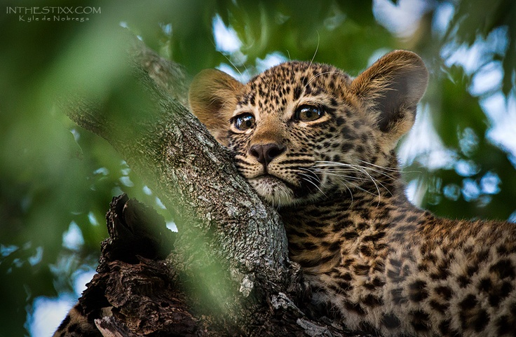 Leopard cub chilling