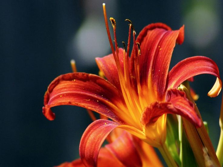 red+lilies | red lilies flowers wallpaper red lilies flowers wallpaper red lilies ...
