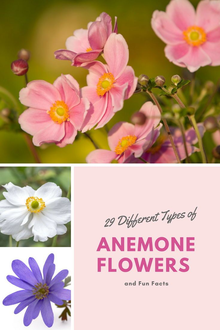 September Charm Anemone X Hybrida Whirlwind Anemone X Hybrida And The Blue Shades Anemone Blanda Anemone Anemone Flower Anemone Flowers Perennials