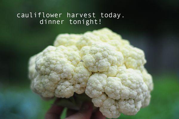 DIY garden: how to grow cauliflower in your backyard garden. gardening blog with pictures