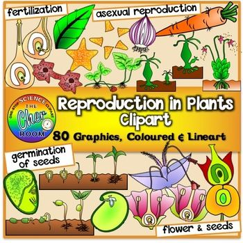 You'll be getting a huge set to teach all about reproduction in plants! This set contains 80 graphics (40 coloured, 40 lineart) of the following:Asexual Reproduction:Binary FissionSpore Formation (Fern)Budding (Hydra)Vegetative Reproduction (Carrot, Strawberry, Bryophyllum, Onion)Regeneration (Starfish)Sexual Reproduction:Structure of Flower Fertilisation Formation of Fruit Germination:Dicot Monocot This set is also found as a bundle(Plants Clipart) at a discounted rate that includes the…