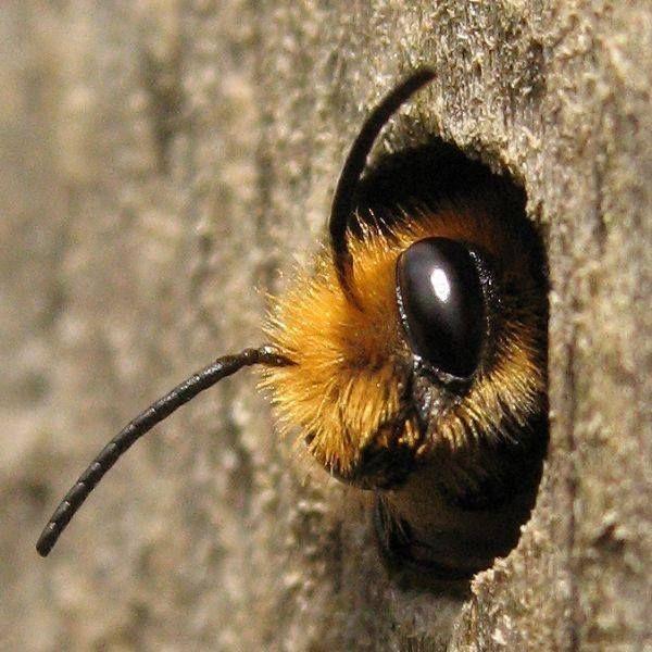 včela divoká