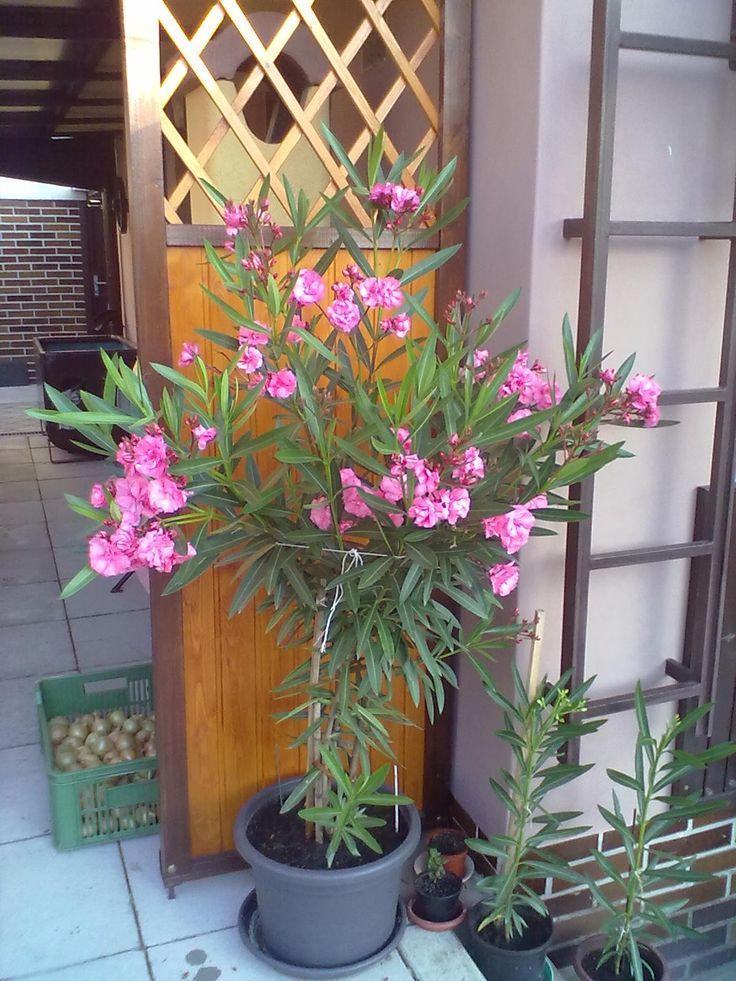 Oleandr v květu