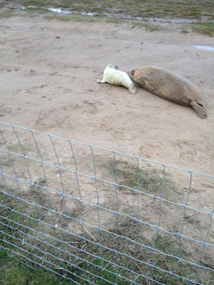 Donna Nook and the birthing of all the seal pups