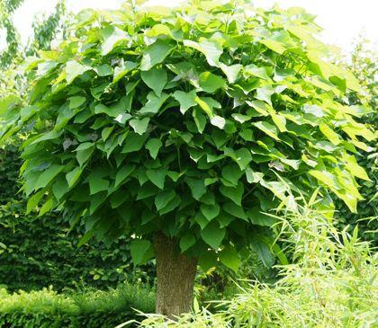 28 best gartenb ume images on pinterest garden plants. Black Bedroom Furniture Sets. Home Design Ideas