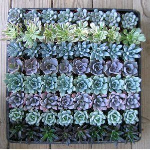 64 Misc Succulents sold by Amazon. So beautiful!