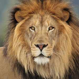 Interesting lion facts for kids and adults. Facts focus on a lion's habitat and diet, the different types of lions, and whether they are endangered.