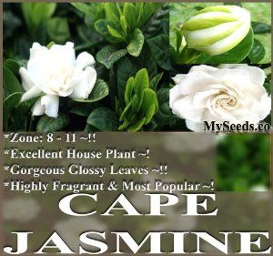 Cape Jasmine Shrub - Gardenia Flower Seeds ~ Showy Fragrant Flowers Evergreen - Zone 8 - 11 by Unknown. $1.00. Choose from: 10 Seeds for $1.00 (Pkt. Size) 100 Seeds for $9.00 250 Seeds for $20.00 500 Seeds for $31.00 1,000 Seeds for $53.00 Fragrant Cape Jasmine Shrub, Gardenia jasminoides, Seeds Showy Fragrant Flowers, Evergreen, Greenhouse/Container Plant, Bonsai Gardenia jasminoides is an evergreen tropical shrub with glossy, dark green leaves 2 to 4 inches long and generall...