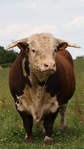 Traditional Hereford                                                       …