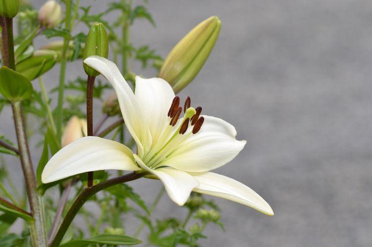 Asiatisk lilje.  Photo by Helga Markhus, Norway