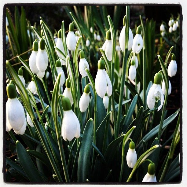 Snow drops in January.
