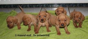 fauve pupjes 1 maand oud
